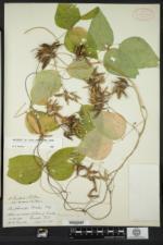 Amphicarpaea bracteata var. comosa image