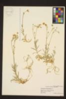 Cerastium biebersteinii image
