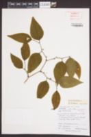 Smilax rotundifolia image