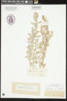Image of Atriplex mucronata