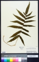 Thelypteris tetragona image