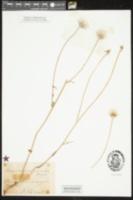 Urospermum picroides image