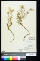 Phlox nivalis image
