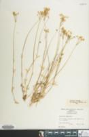 Holosteum umbellatum image