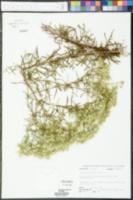 Eupatorium leucolepis image