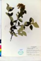 Image of Viburnum burkwoodii