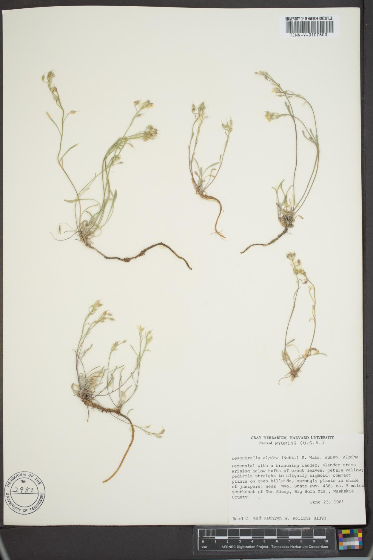 Lesquerella alpina subsp. alpina image
