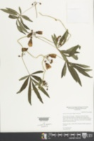 Image of Ipomoea heterodoxa
