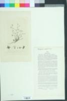 Sabulina tenuifolia image