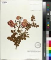 Rosa cathayensis image