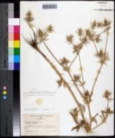 Image of Eryngium hookeri