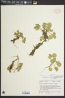 Image of Nasturtium floridanum