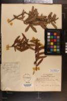 Quercus pumila image