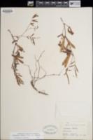 Calliandra humilis var. humilis image