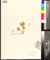 Oxalis montana image