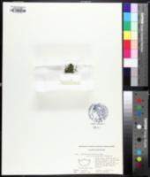 Image of Wolffia papulifera