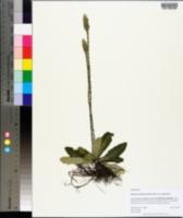 Elytraria caroliniensis image