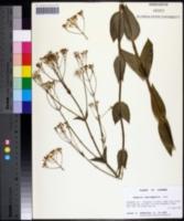 Sabatia macrophylla image