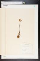 Image of Colchicum alpinum