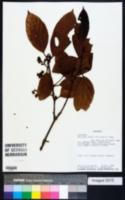 Image of Nectandra laurel