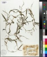 Image of Cyrtococcum patens