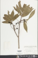 Image of Elaeocarpus glabripetalus