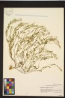 Cardamine flexuosa image
