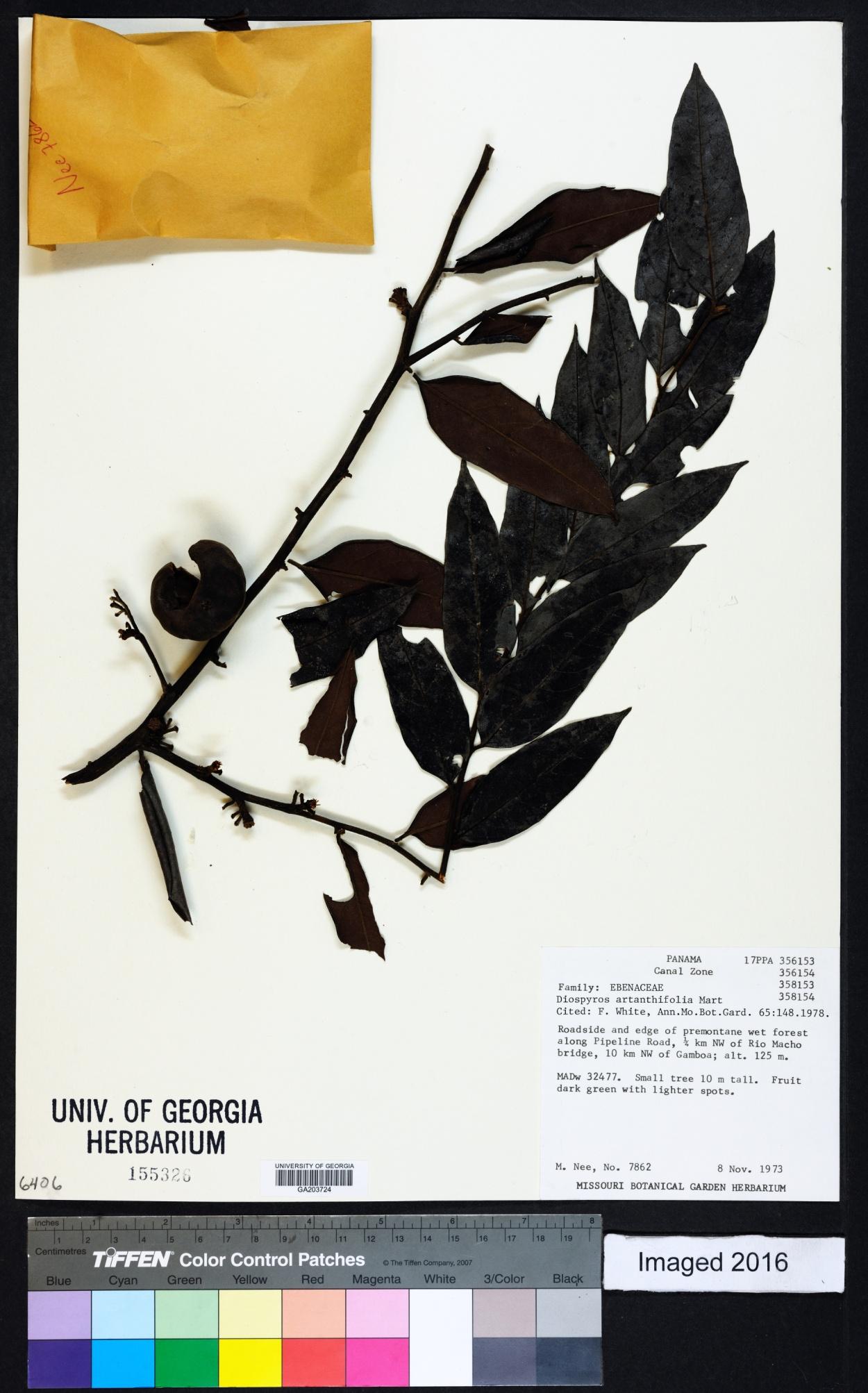 Diospyros artanthifolia image
