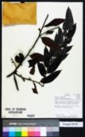 Image of Diospyros artanthifolia