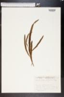 Image of Muehlenbeckia platyclada