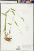 Panicum depauperatum image