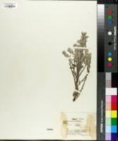 Image of Helichrysum stellatum