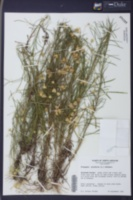Pityopsis pinifolia image