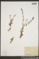 Linnaea borealis image