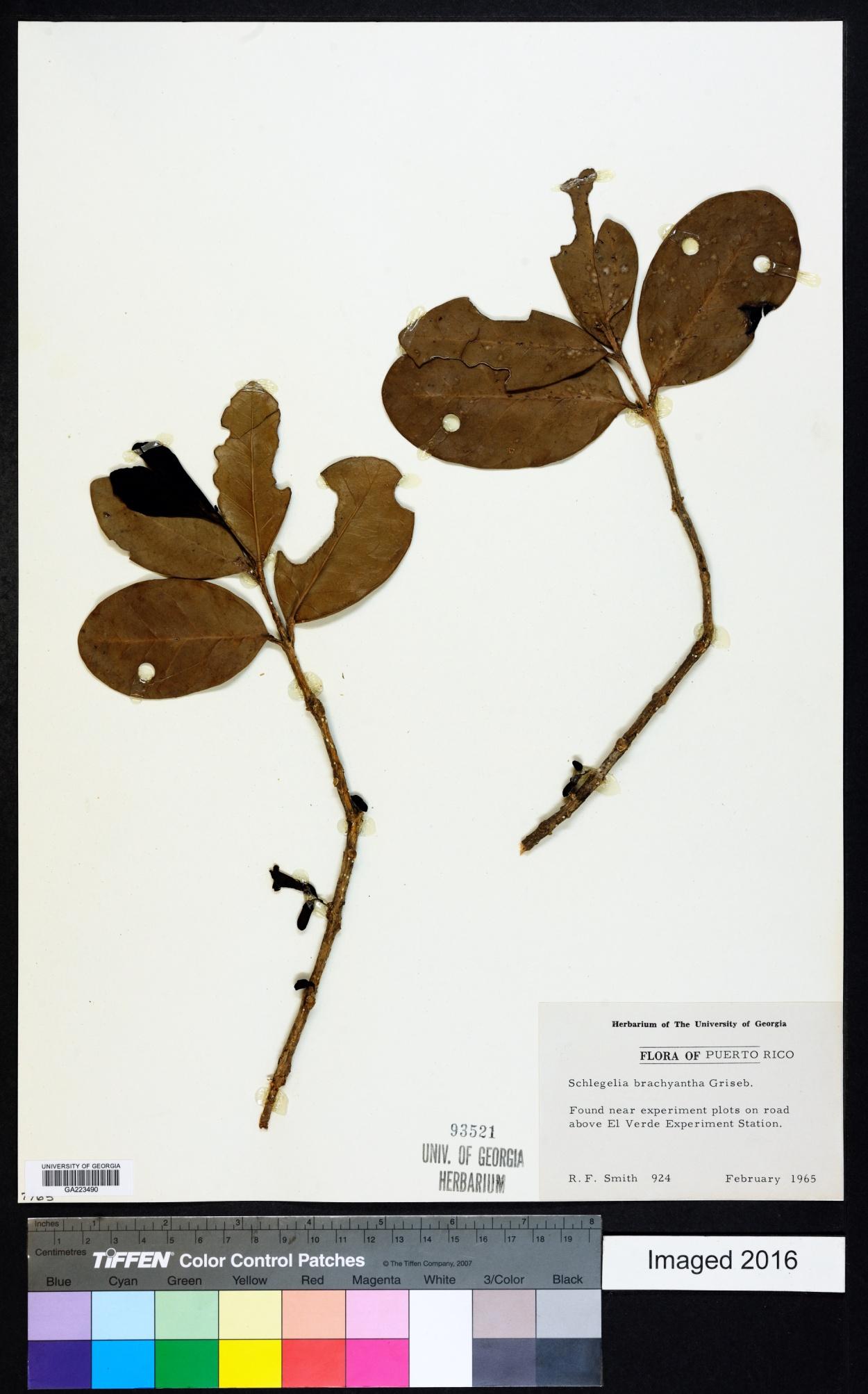 Schlegelia brachyantha image