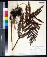 Woodwardia virginica image