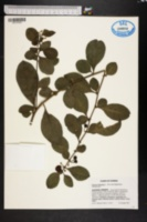 Solanum diphyllum image