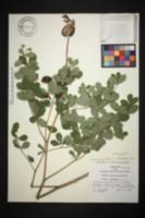 Baptisia australis var. aberrans image