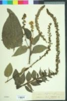 Image of Verbascum nigrum