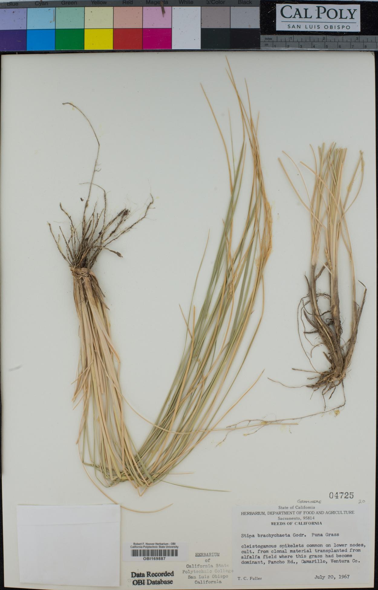 Stipa brachychaeta image