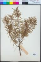 Acacia decora image