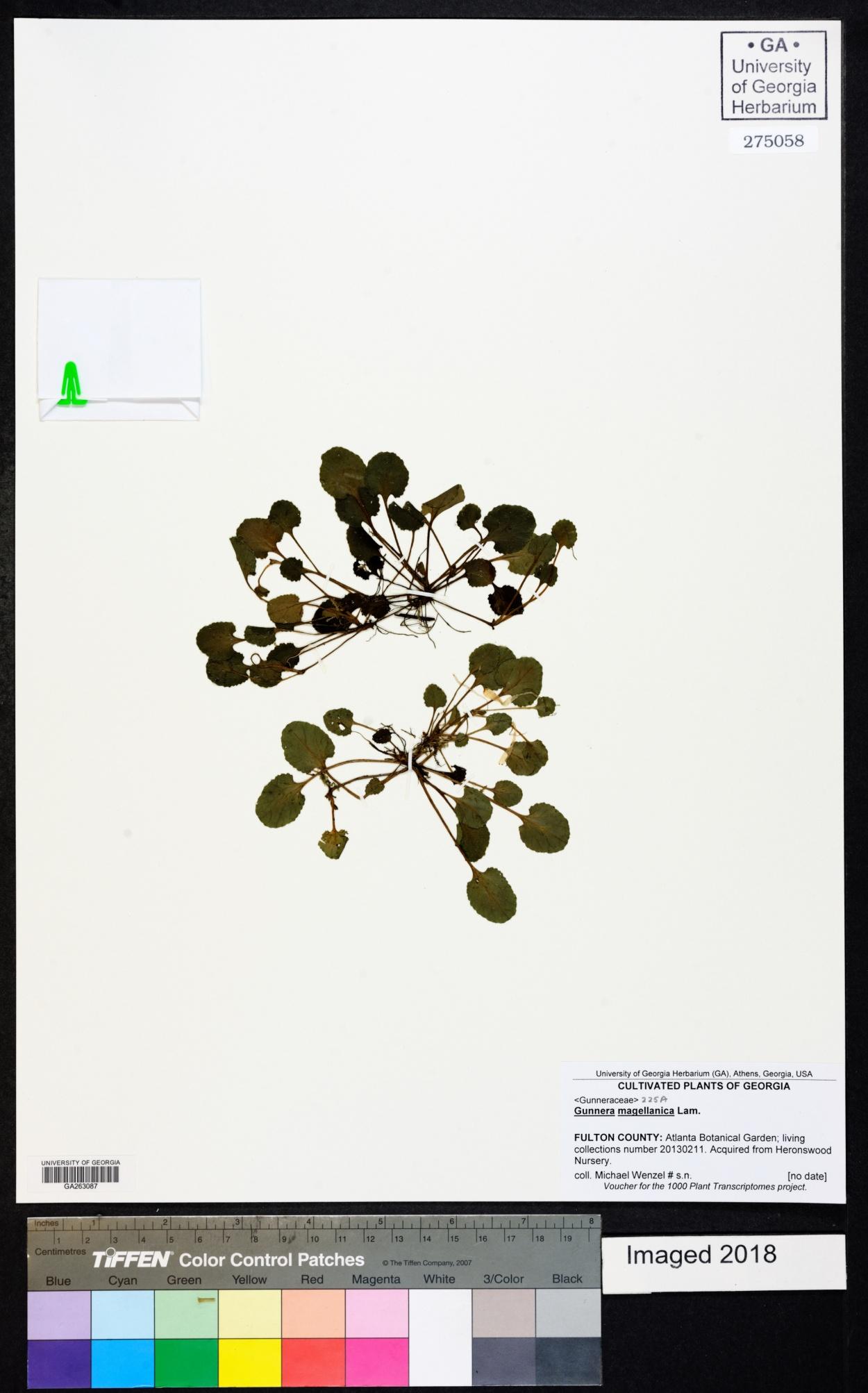 Gunnera magellanica image