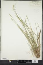 Danthonia compressa image