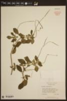 Achimenes longiflora image