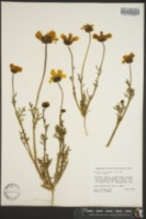 Coreopsis calliopsidea image