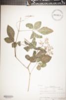 Image of Cayratia japonica