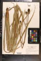 Eryngium columnare image