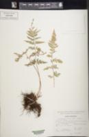 Dryopteris patula image