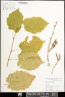 Corylus colurna image