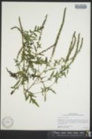 Ambrosia artemisiifolia image